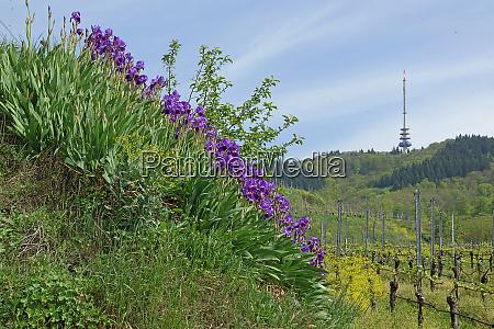 blau bluehende iris bei oberbergen im