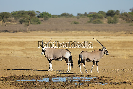 gemsbok antelopes at a waterhole