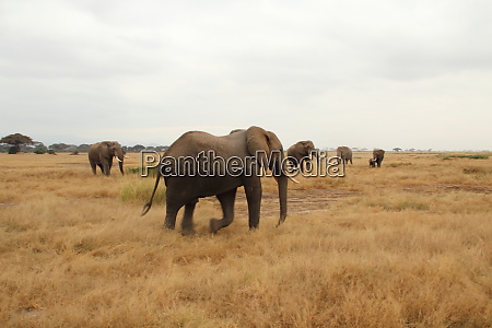 an, elephant, comes, back, from, bathing - 26879550