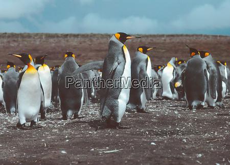 king penguins at volunteer point falkland