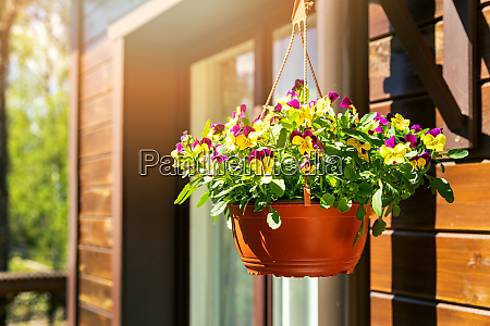 pot with colorful pansy flowers hanging
