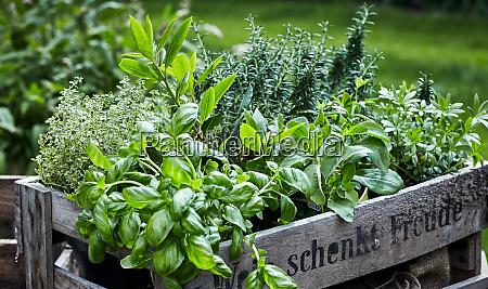 assorted fresh herbs growing in pots