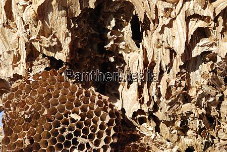 hornissennetzinsekten sterben biodiversitaet vespa crabro hexagon