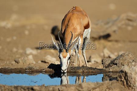 springbok antelope drinking water kalahari