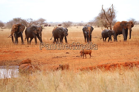 two warthogs and nine elephants