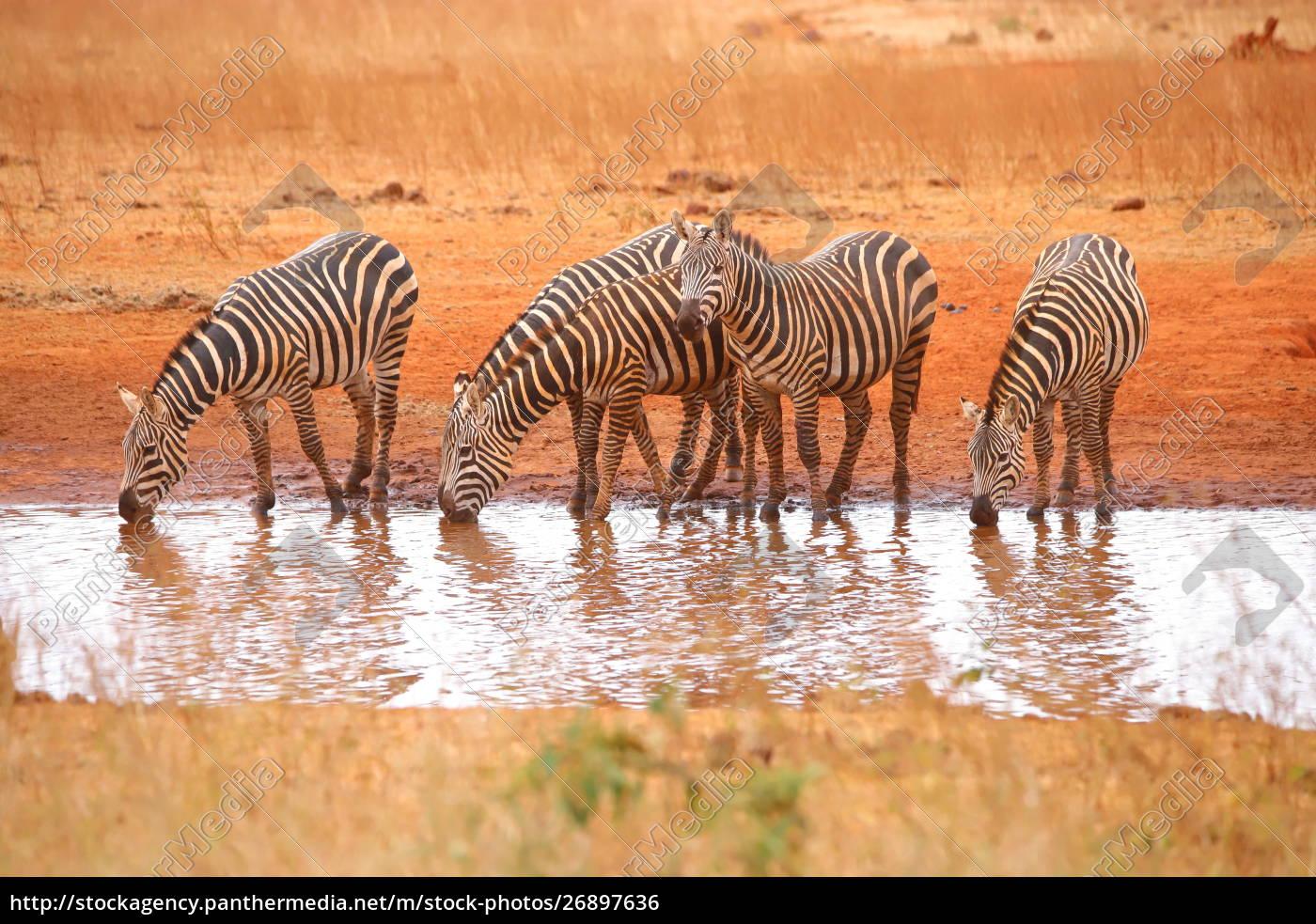 fünf, zebras, am, wasserloch - 26897636