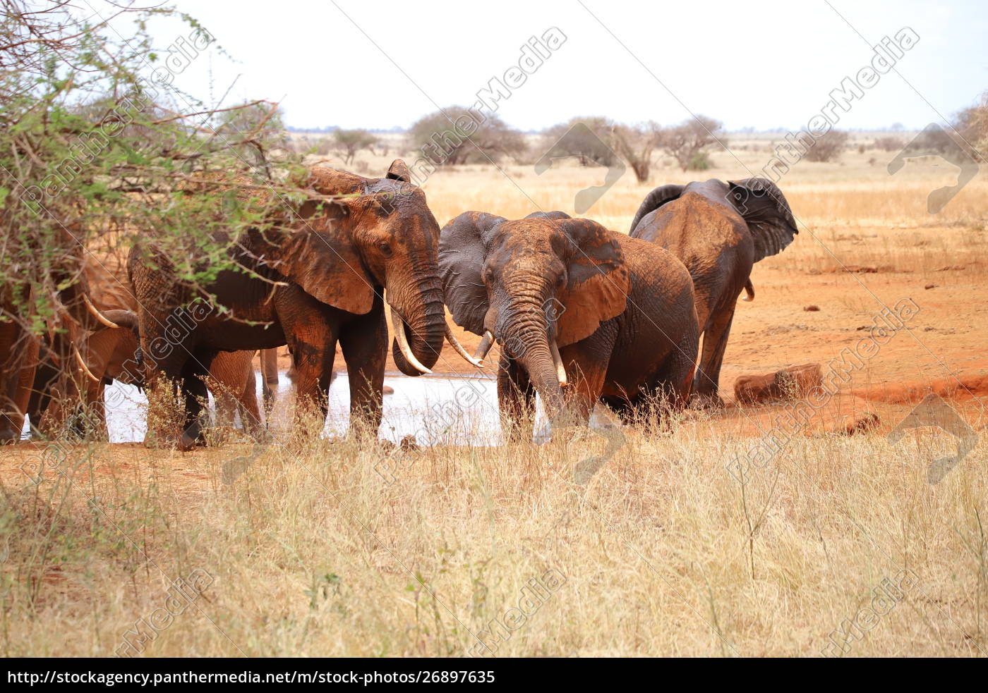 group, of, elephants, at, a, water - 26897635