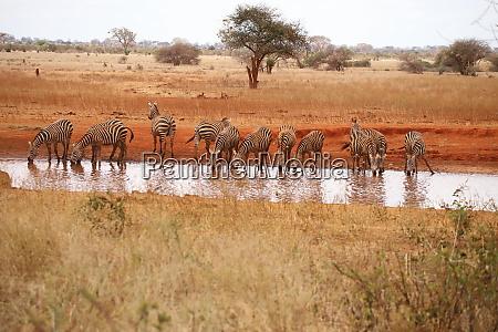 zebras, am, wasserloch, in, ngutuni, heiligtümer - 26897659