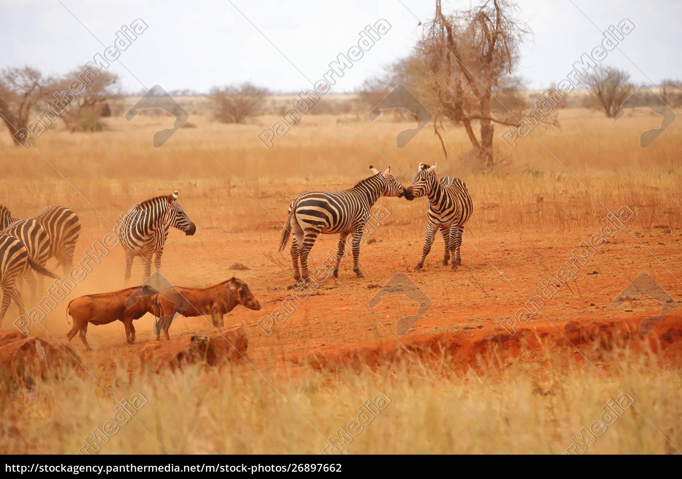 zebras, und, warzenschweine, in, der, savanne - 26897662