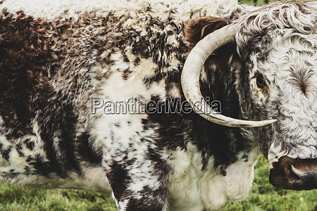 close up of english longhorn cow