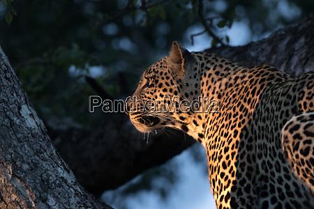 ein leopard panthera pardus sitzt in