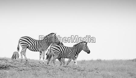 eine herde zebras equus quagga gehen