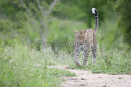 ein leopard panthera pardus geht in