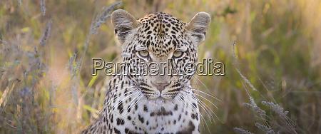 ein leopardenkopf panthera pardus direkter blick