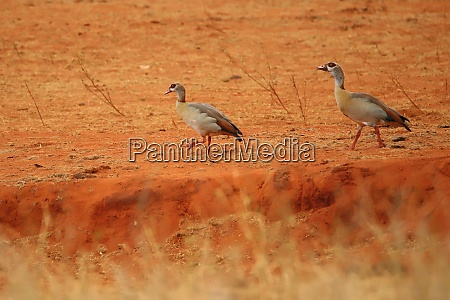 two egyptian geese in kenya