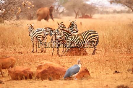 ein, zebra, kratzt, seinen, bauch, auf - 26906166