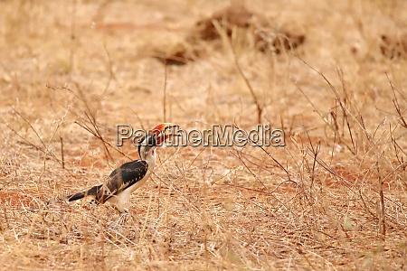 hornbill, is, grabbing, something. - 26906168