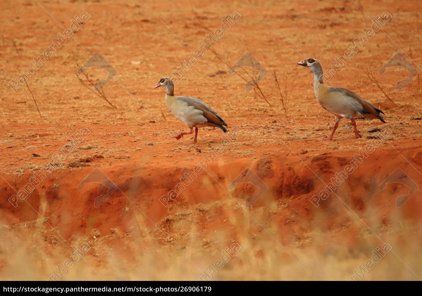 two, egyptian, geese, in, kenya - 26906179