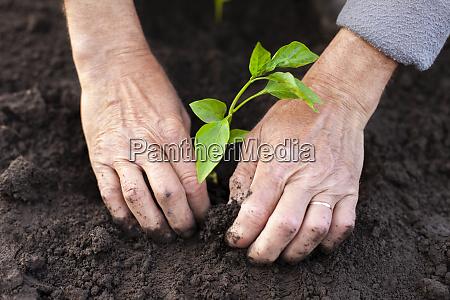 haende von senior mann pflanzung