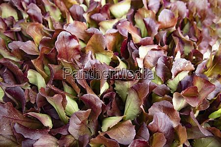 roteichenblattsalat