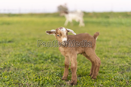 portrait of young goat on a
