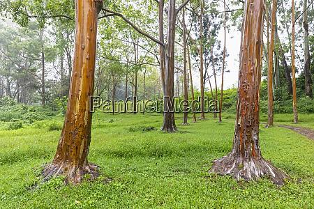 usa hawaii kauai rainbow eucalyptus eucalyptus