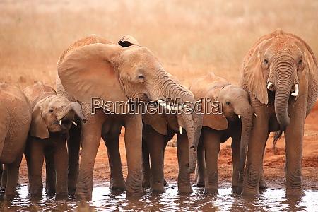 eine, elefantengruppe, an, einem, wasserloch, in - 26918349