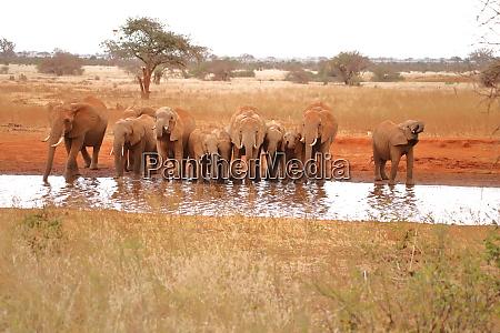 elf, durstige, elefanten, an, einem, wasserloch - 26918347