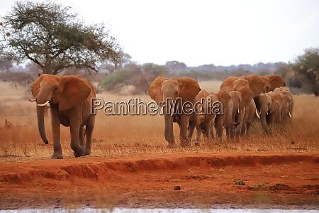 wandering, herd, of, elephants - 26918343