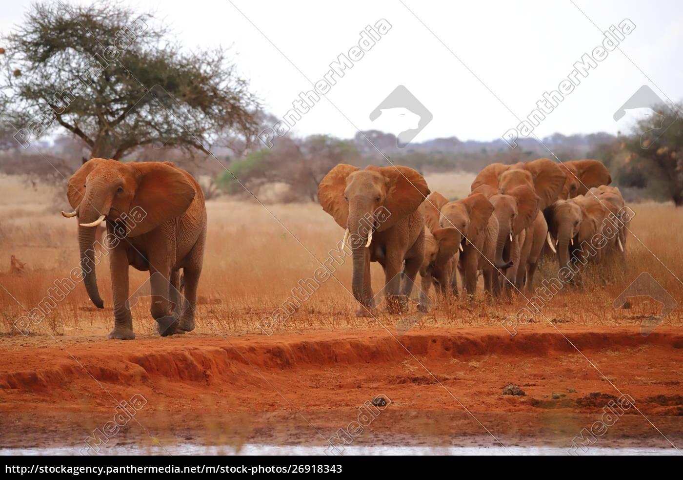 wandernde, elefantenherde - 26918343