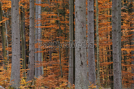 germany bavaria forest in autumn