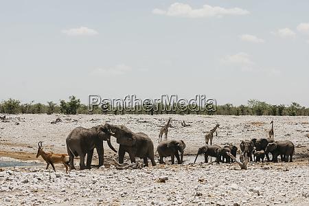 namibia etosha national park elephants springboks
