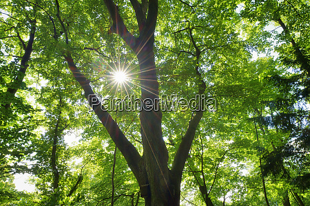sun and sunbeams through leaves of