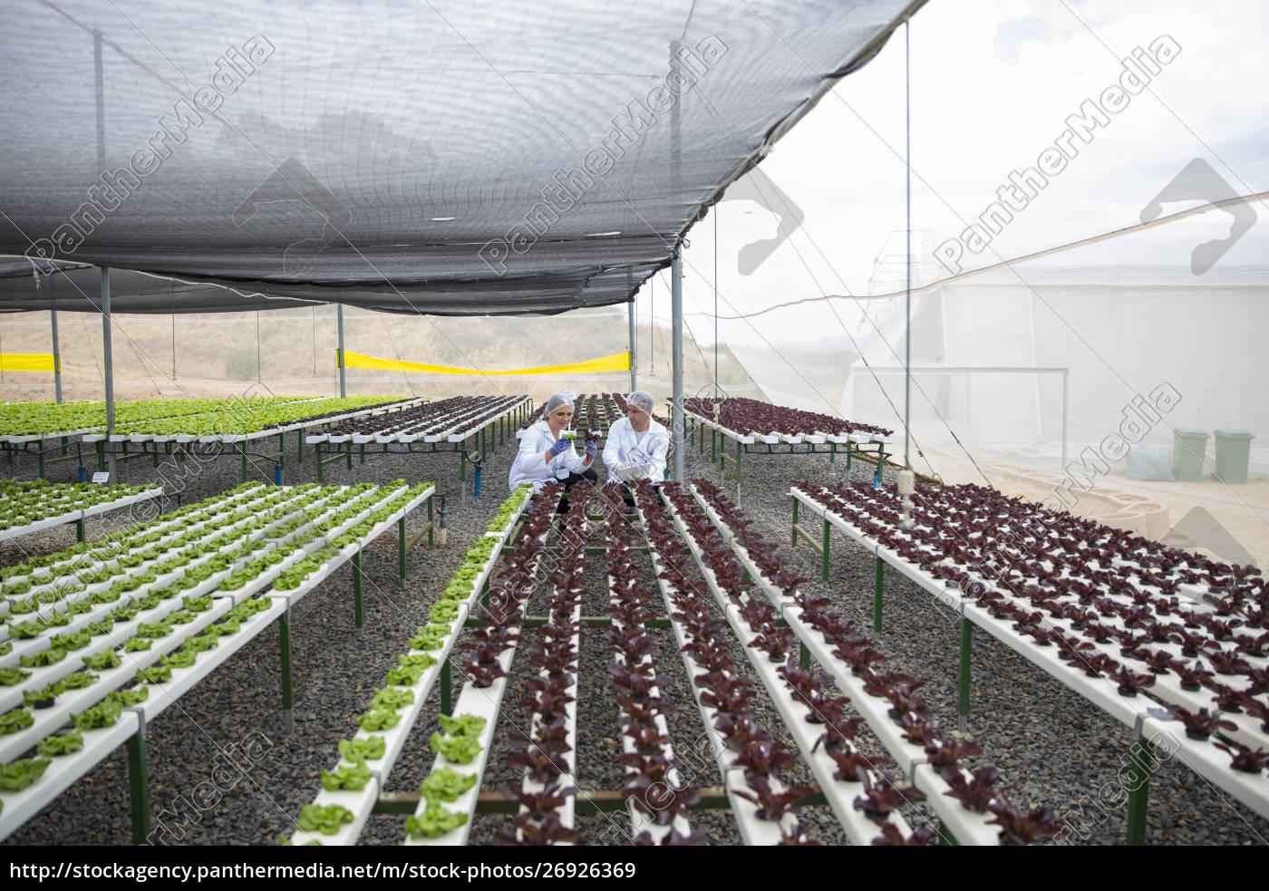 gewächshausarbeiter, inspizieren, pflanzen - 26926369