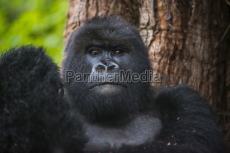rwanda virunga national park portrait of