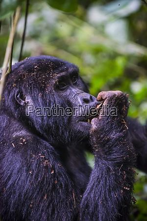 africa uganda mountain gorilla gorilla beringei