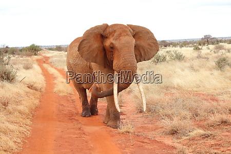 an, elephant, walks, on, dirt, road - 26933147