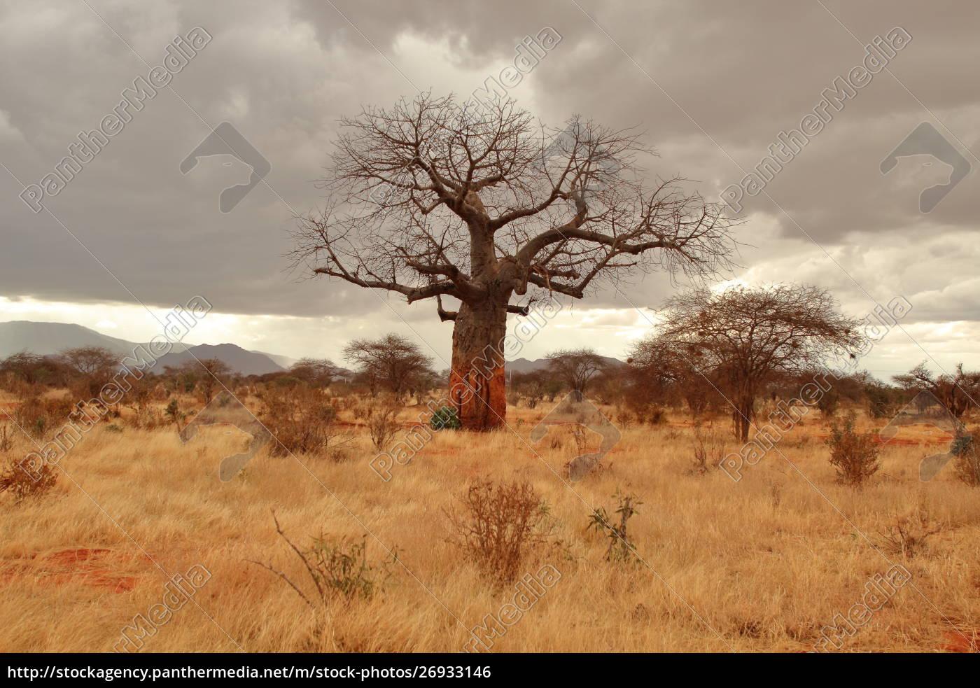 baobab, in, the, kenyan, savannah - 26933146