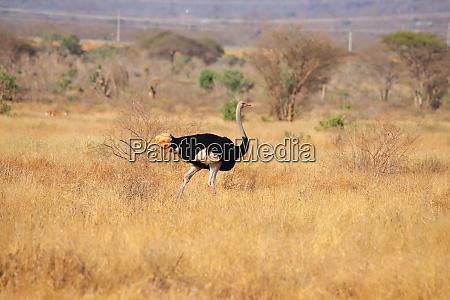 somali ostrich in kenya