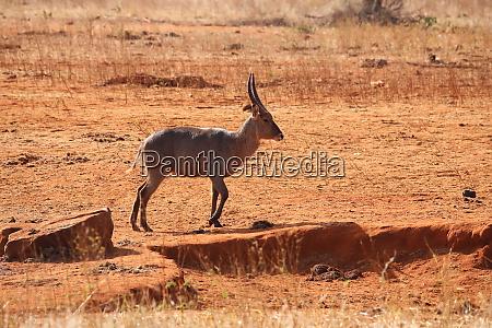 common, waterbuck, in, kenya - 26936455