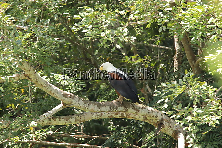 african, fish, eagle, on, a, branch - 26938267