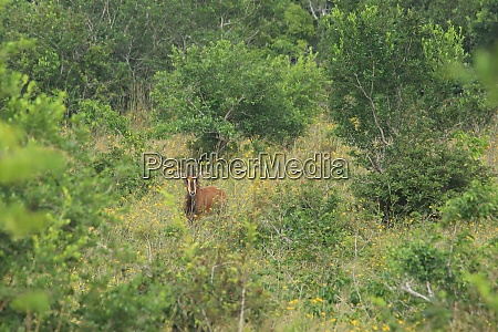 sable, antelope, in, shimba, hills, national - 26938265