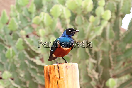 superb, starling, sits, on, a, wooden - 26938071