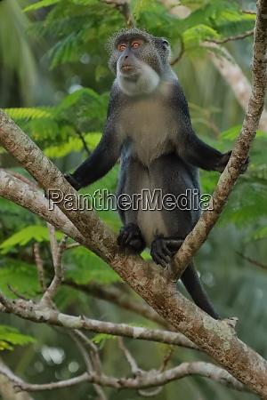 sykes, monkey, on, a, branch - 26938072