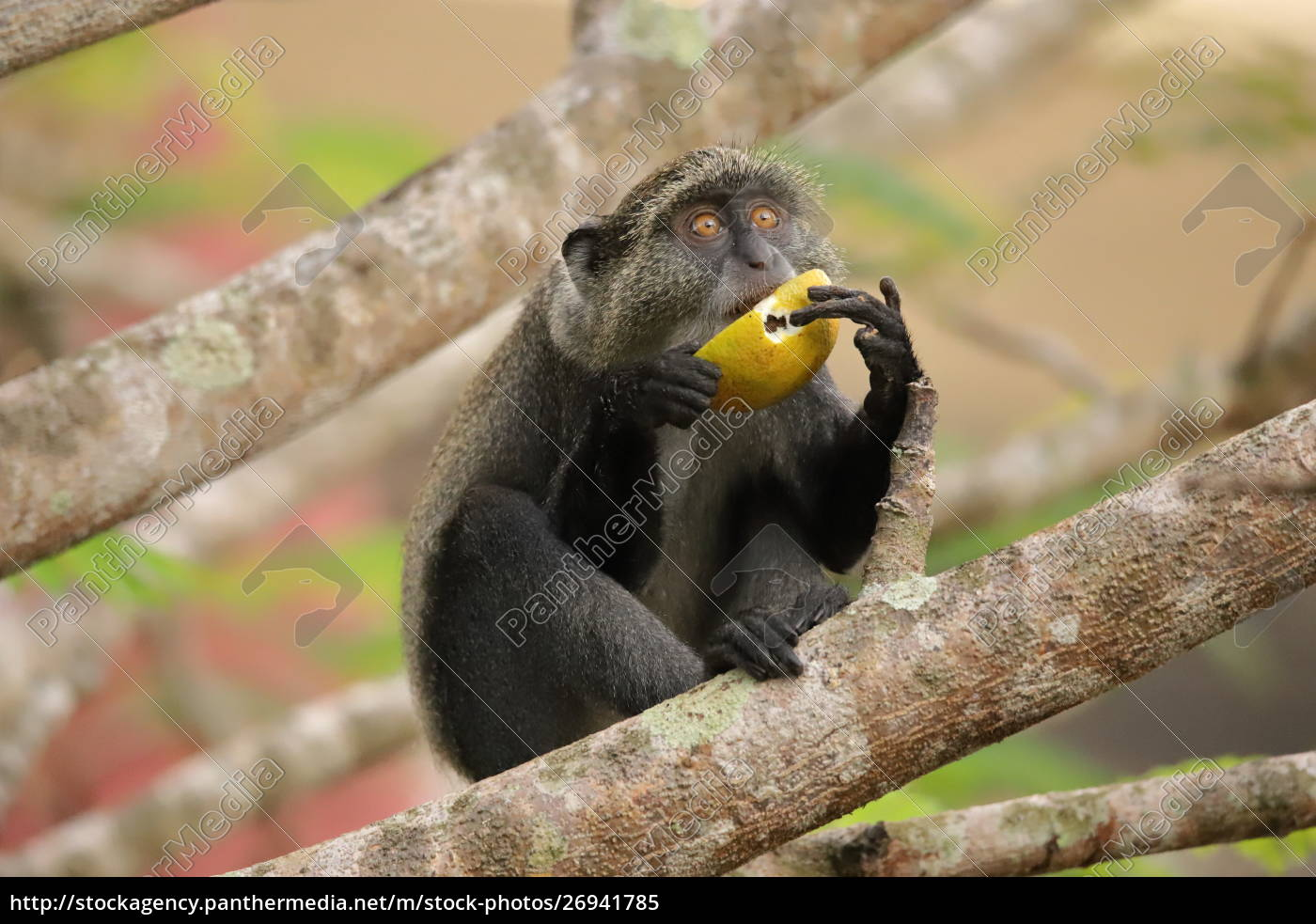 sykes, monkey, holds, a, fruit, with - 26941785