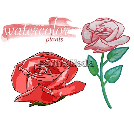 watercolor rose plant set