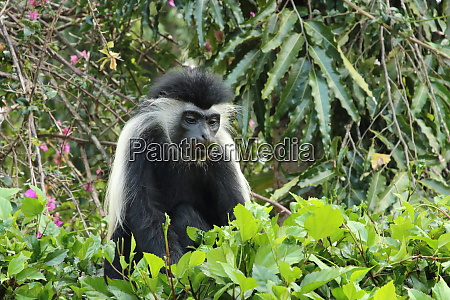 angolan, colobus, monkey, eats, , leaves - 26944195