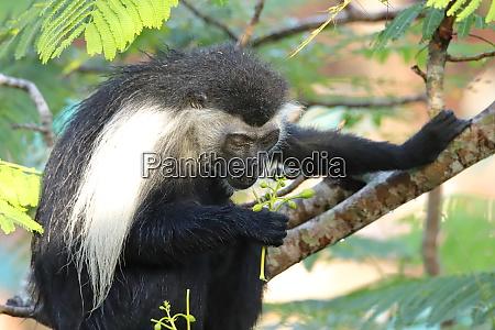 the, angolan, colobus, monkey, looks, at - 26944193