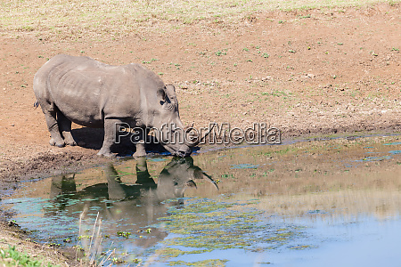 rhinos waterhole wildlife animals