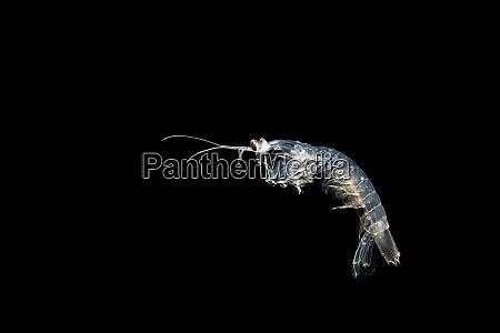 squilla mantis mantisgarnelen